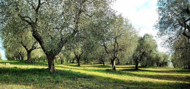 L'uliveto Scovaventi da cui provengono le olive per l'olio Ostro